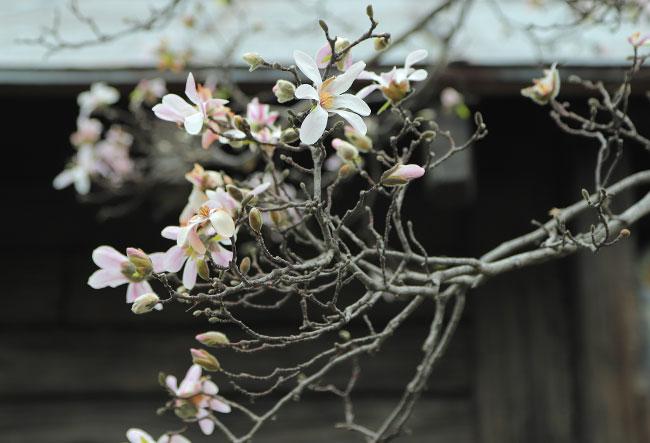 アミティビレッジのコブシの花