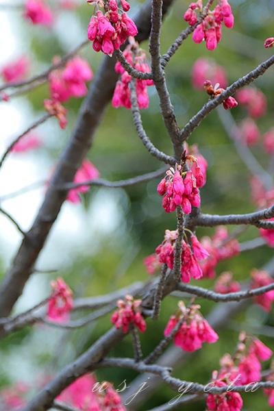 ニューヨーク図書館セット前の桜