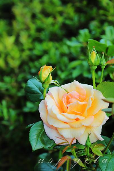 USJのバラ