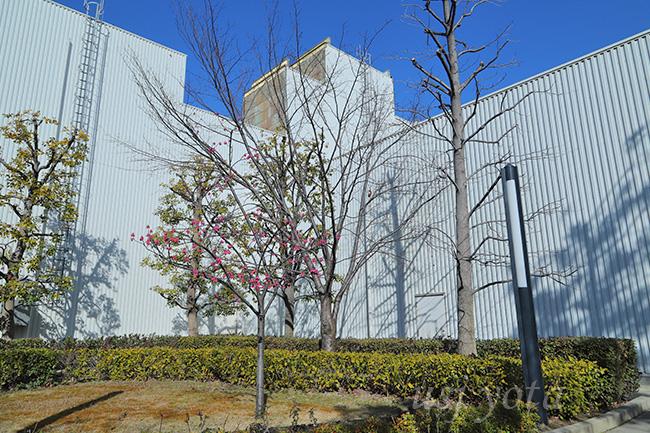 カンヒザクラの木