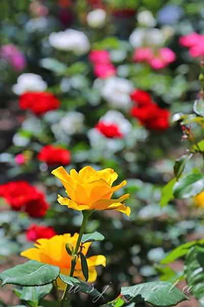 ローズ・オブ・フェイムのバラ