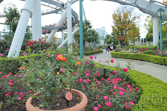 USJのバラ園【Rose Of Fame】