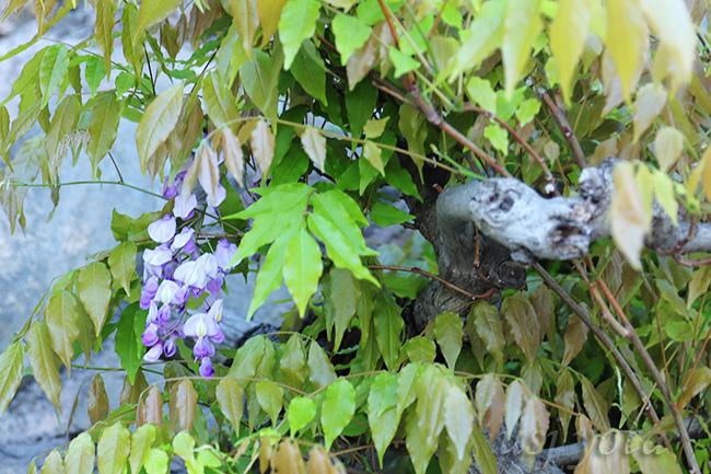 アミティランディングレストランの外壁の植え込みで咲いている藤