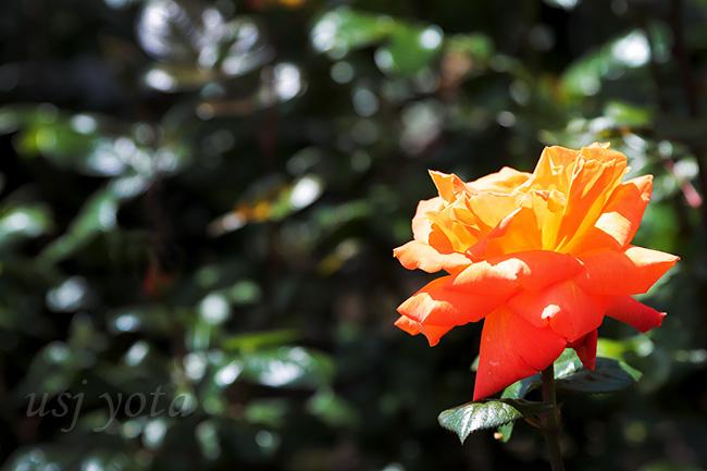 ローズオブフェイムのバラ