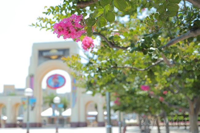 大門オフィシャル駐車場サイド前のサルスベリ