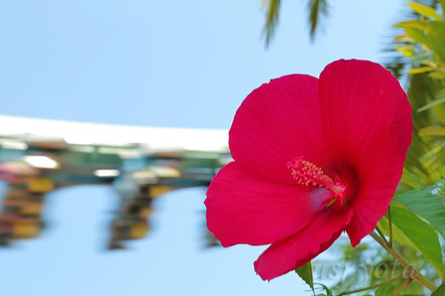 タイタンビカスの赤い花