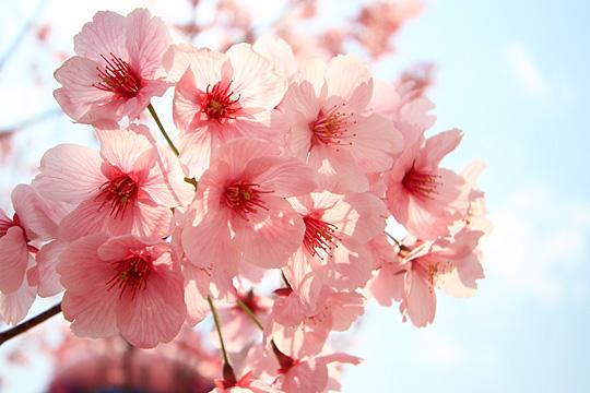 ユニバーサルワンダーランドの桜