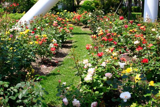 USJのバラ園「Roses of Fame