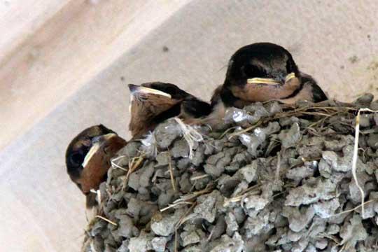 ツバメの雛たち