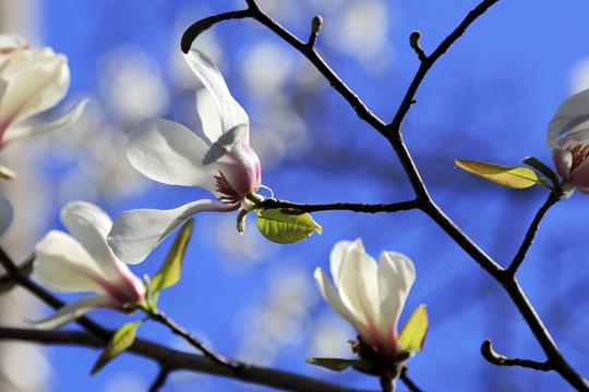 コブシ咲くアミティビレッジ