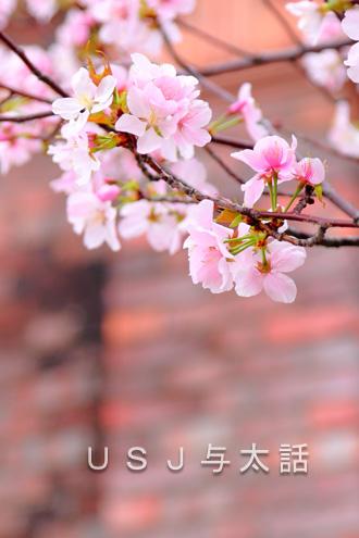 USJの桜