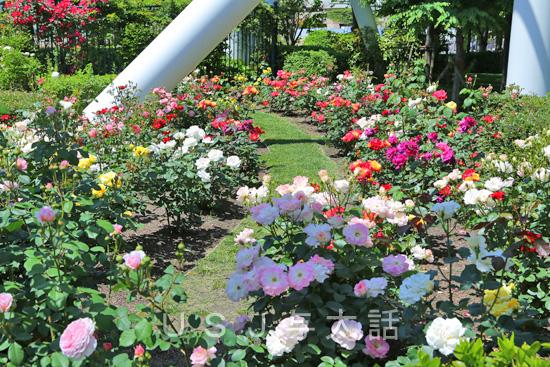 セントラルパークのバラ