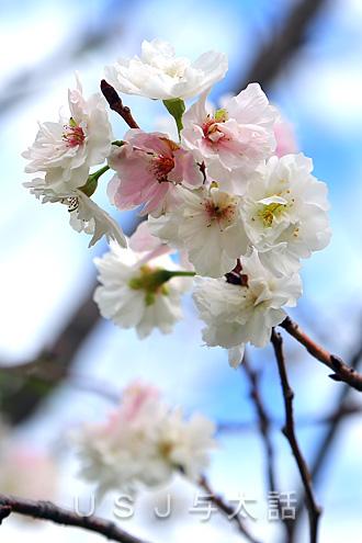 USJで冬に咲く桜